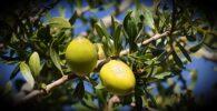 Obtención del aceite de argán desde el fruto verde del árbol argania spinosa