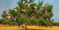 Árbol de Argán con las cabras autóctonas comiendo sus frutos